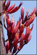 red flax flower